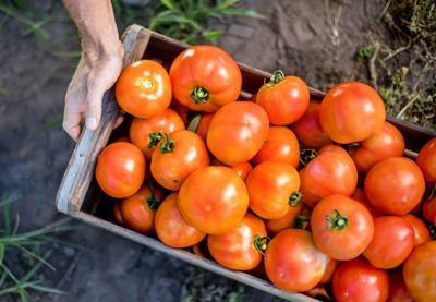 Issue No. 18: Tomatoes on St. Helena Island, South Carolina