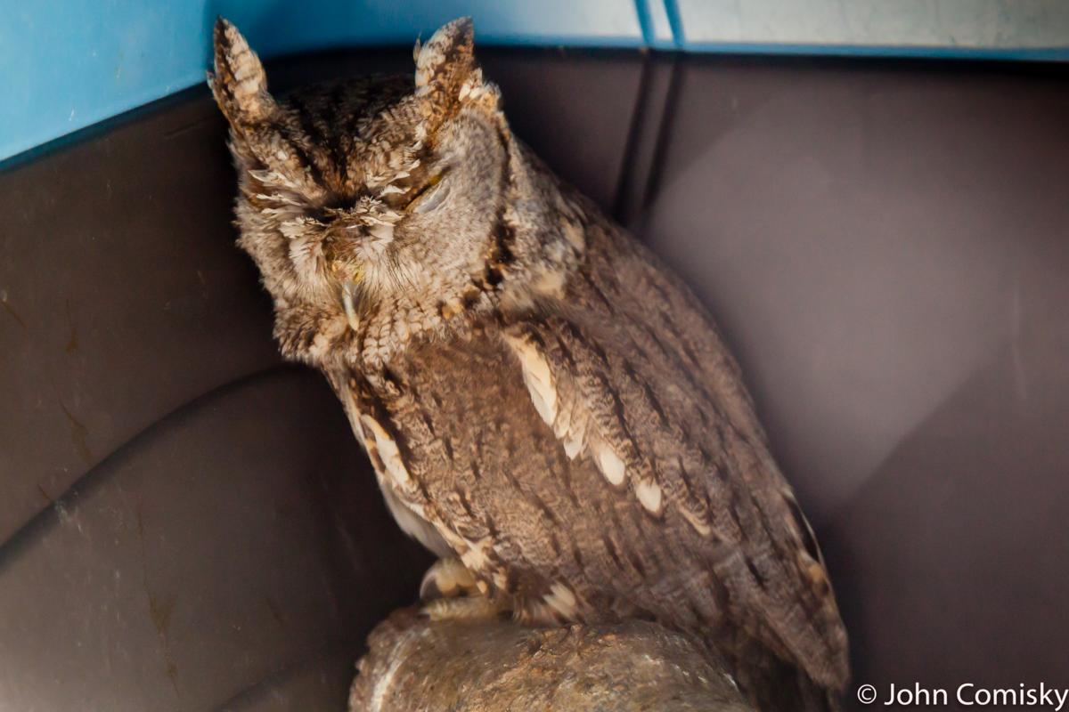 screech owl released