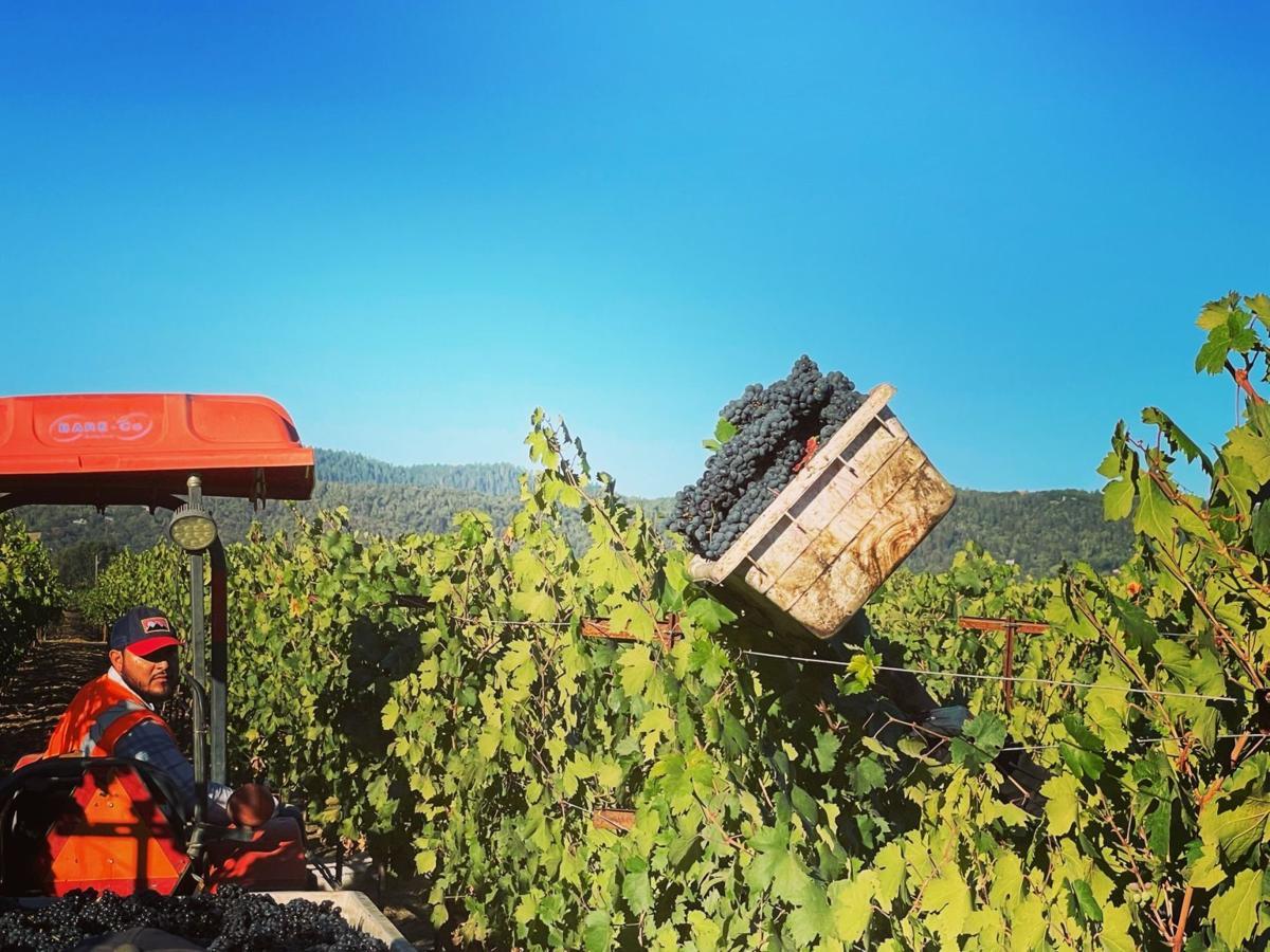 Harvesting Zinfandel