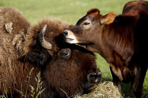 Helen the blind bison becomes nanny to 4-month-old cow