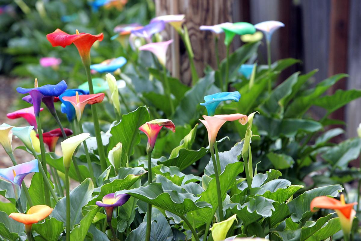 Napas Calla Lilies In Rainbow Colors Local News