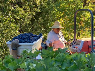 Cabernet harvest at Cliff Family