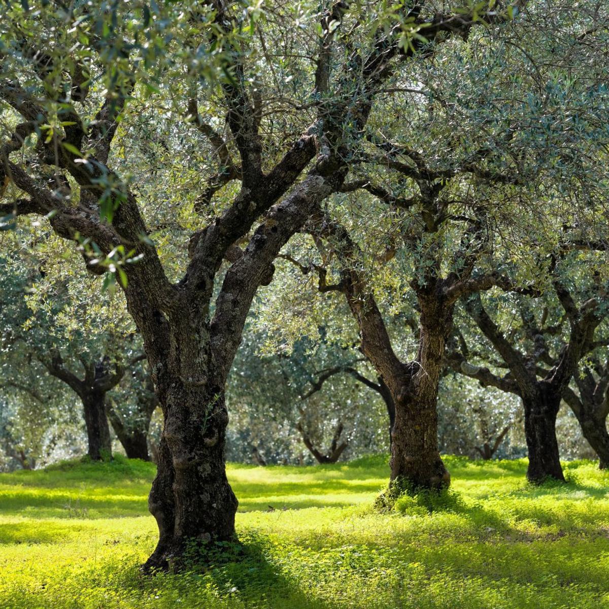 Master Gardeners Growing Olive Trees In Napa Valley Master Gardener Napavalleyregister Com
