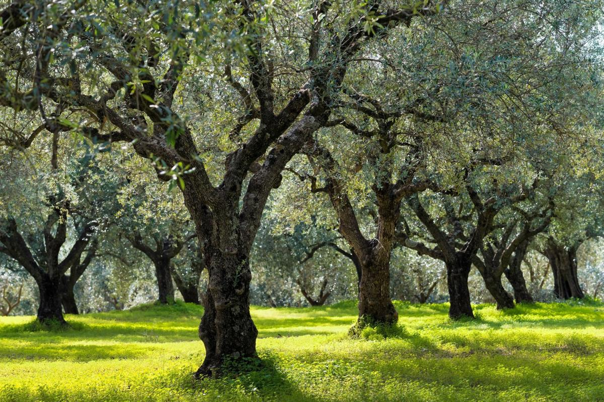 Growing Olive Trees In Napa Valley