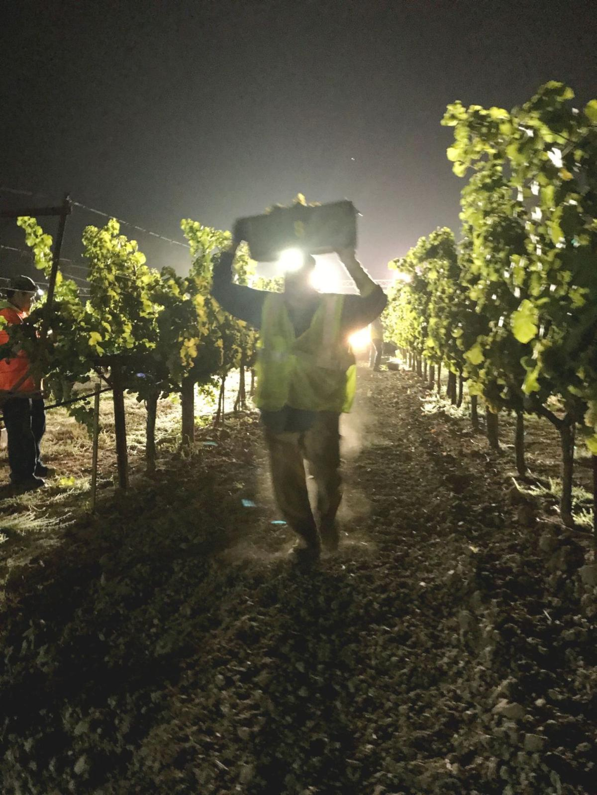 Duckhorn Vineyards' 40th harvest