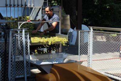 Chardonnay grapes go through a destemmer