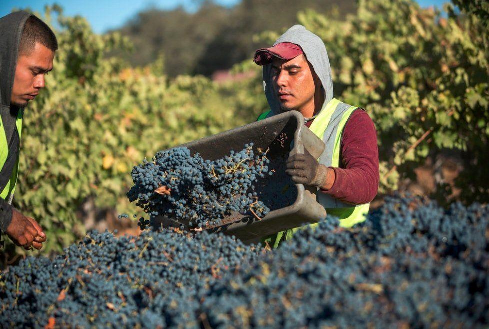 Harvest at Frank Family Vineyards