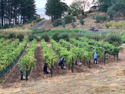 Harvest at Clif Family