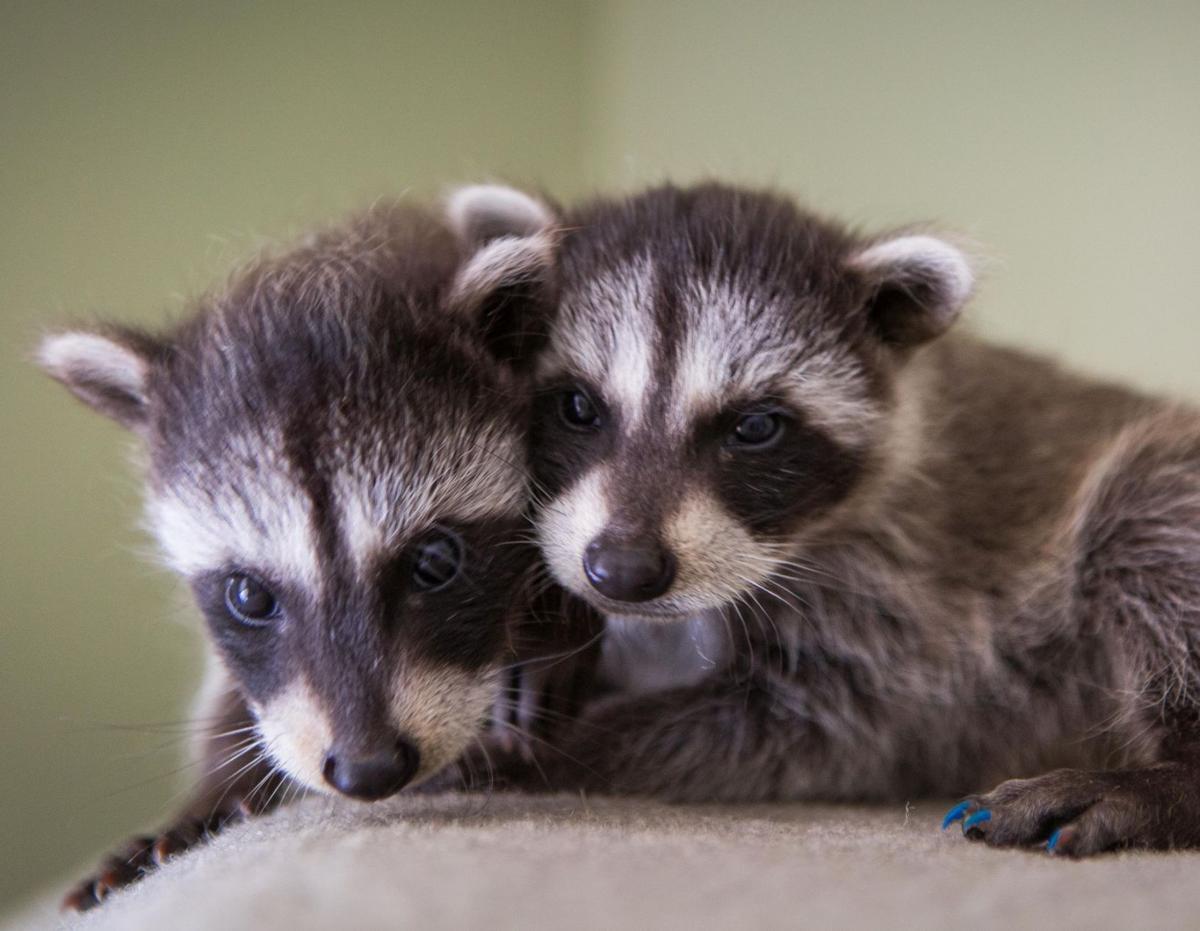 Baby raccoons pair