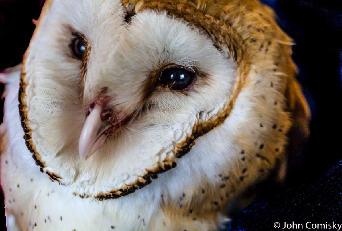 Barn Owl in rehab
