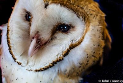 Barn Owl in rehab