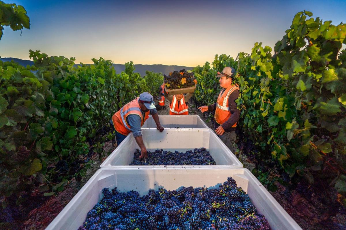 2019 grape harvest begins at Mumm Napa