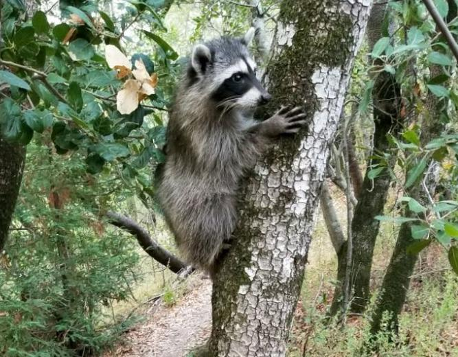 Raccoon up in a tree