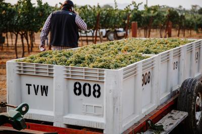 Harvest at Trefethen