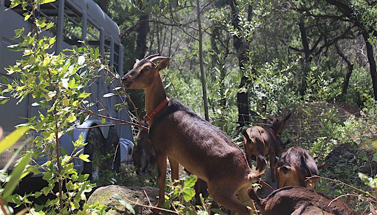 Scrub eating goats