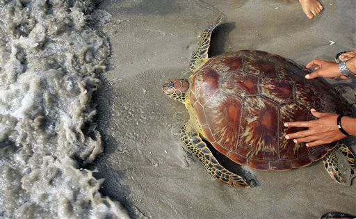society should rescue green sea turtles Migratory corridors and foraging hotspots: critical habitats identified for mediterranean green turtles israel's sea turtle rescue centre.