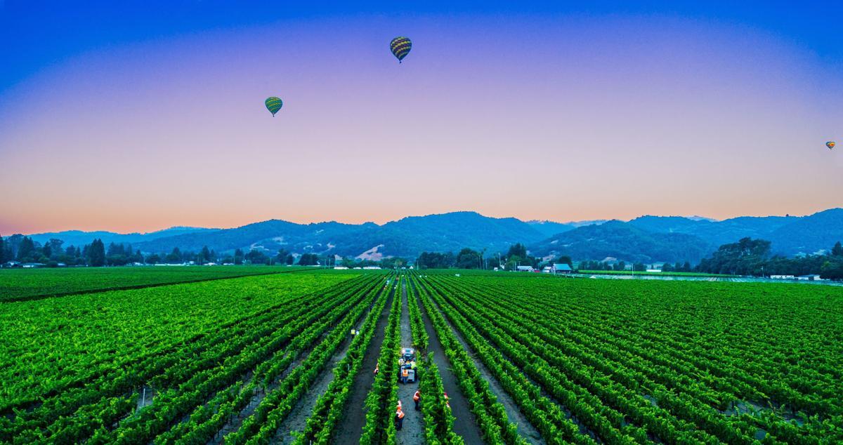 Napa Valley grape harvest 2019 coroanvirus use