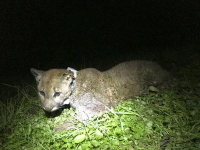 Mountain lion killed in California wine country sparks anger