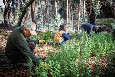 Removing invasive plants at Westwood Hills Park