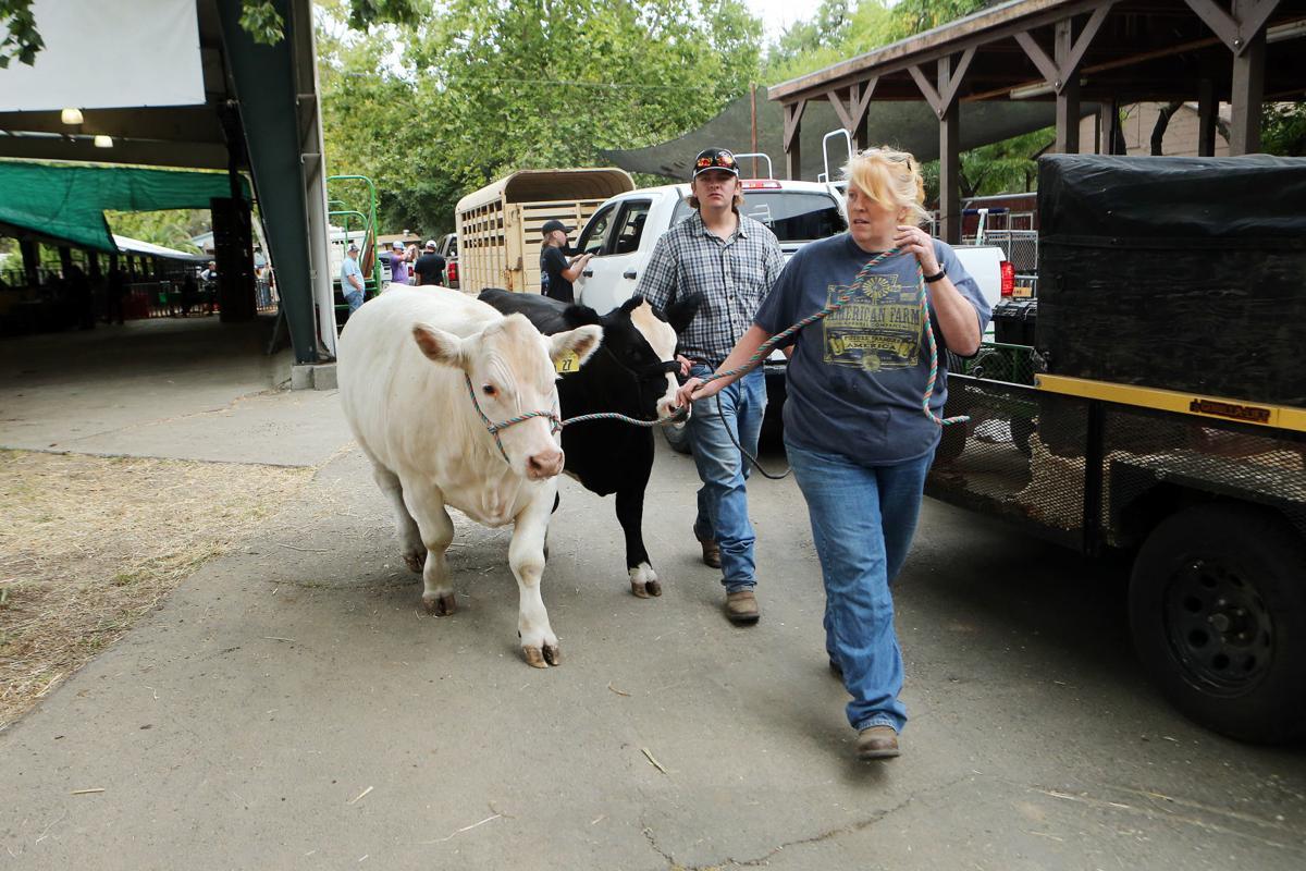 Arriving at Napa's Junior Livestock Auction
