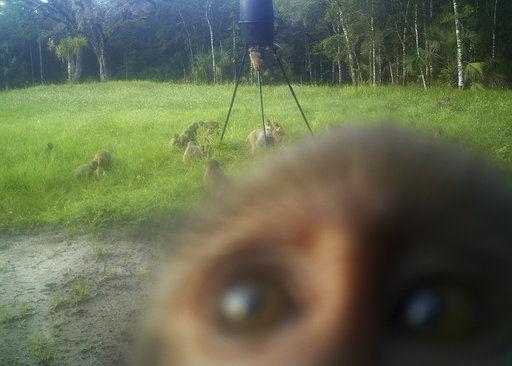 Wild primates in Florida park: Monkey shenanigans on rise