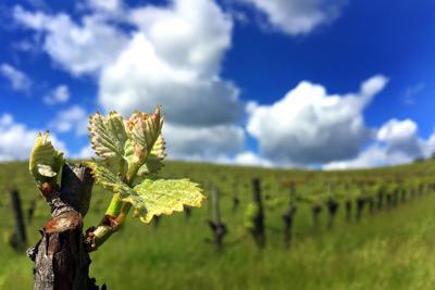 Vineyards spring to life