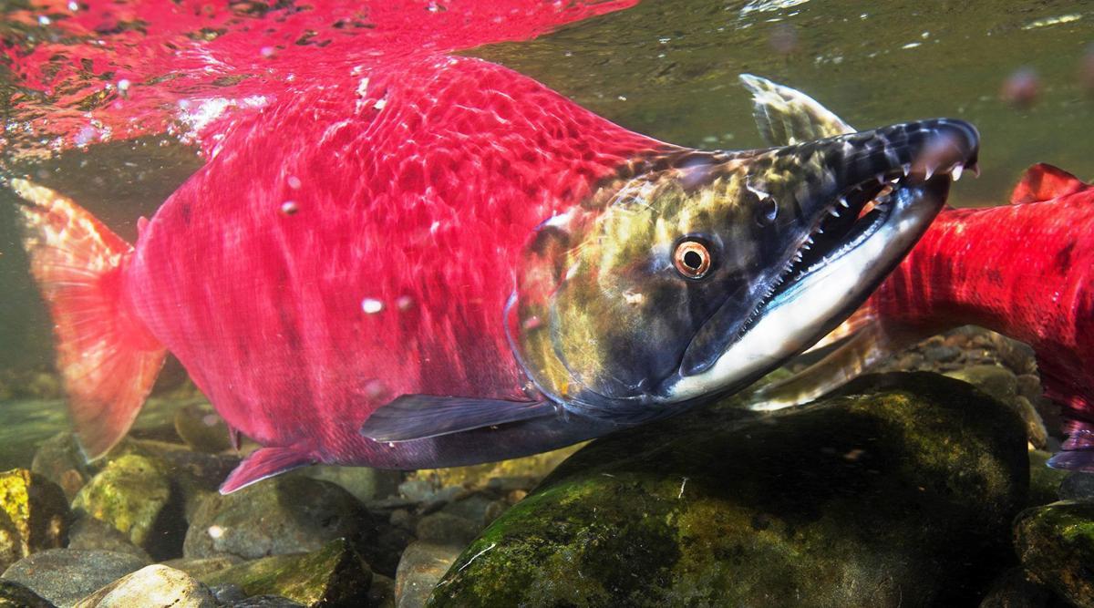 Sockeye Salmon