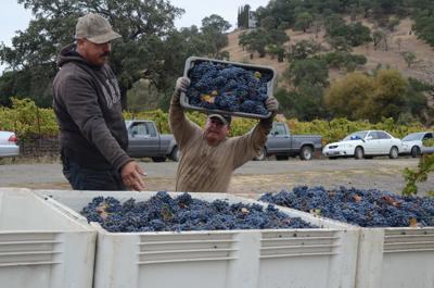 Late season grape harvest