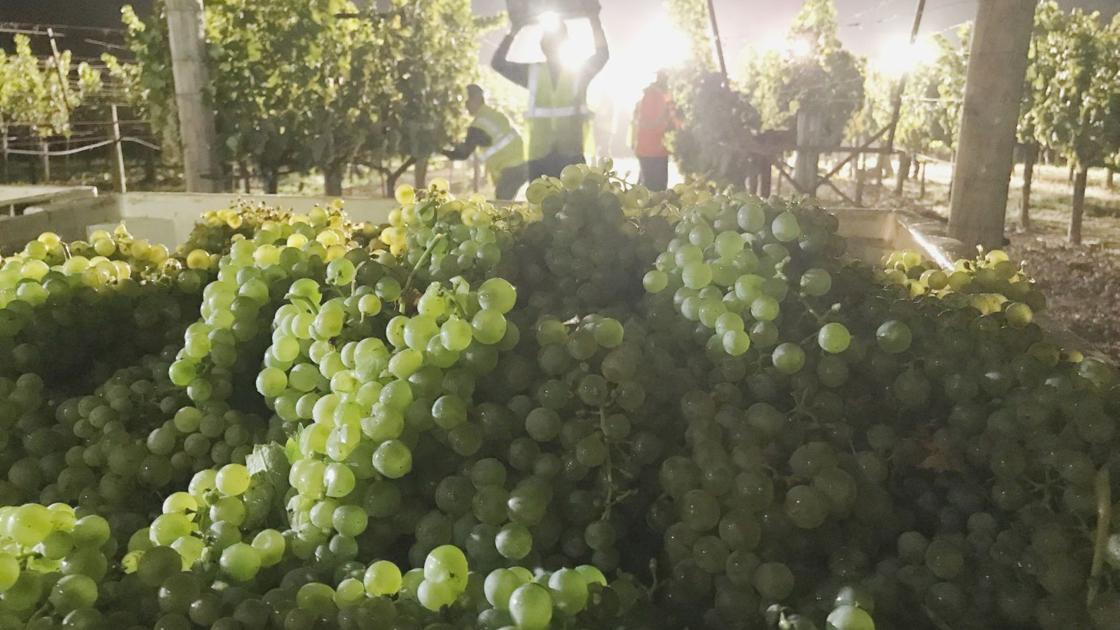 Pushed by hot weather, Napa wine industry accelerates grape harvest ...
