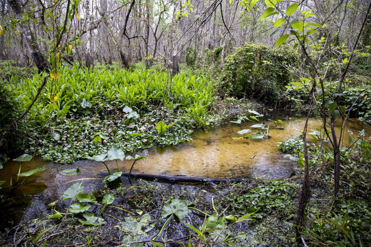 Soldier Creek runs through portions of Spring Hammock Preserve in Seminole County on Wednesday, Feb. 10, 2021.