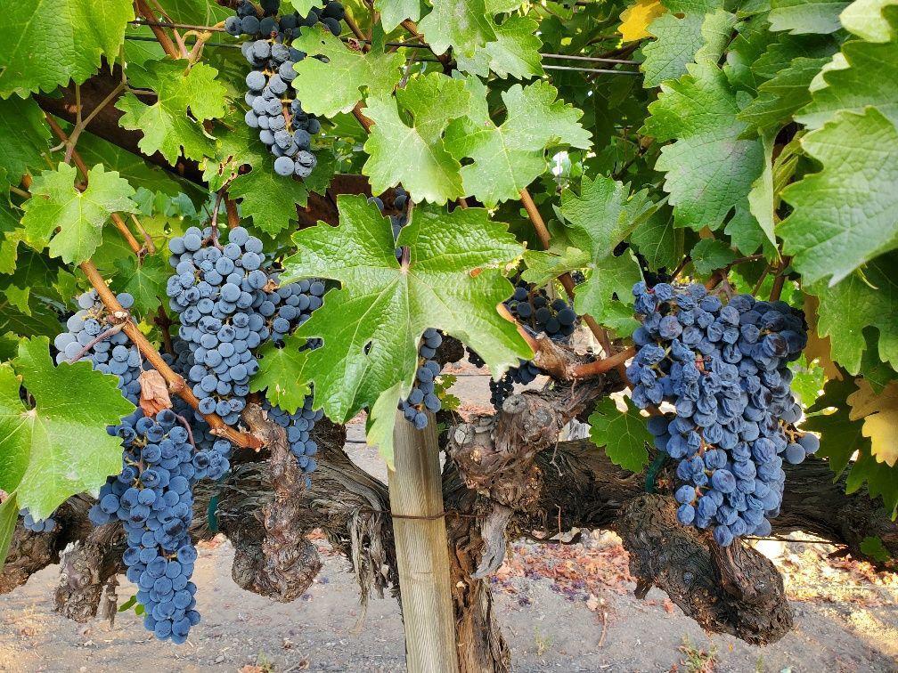 Vineyard on Vallejo Street, St. Helena