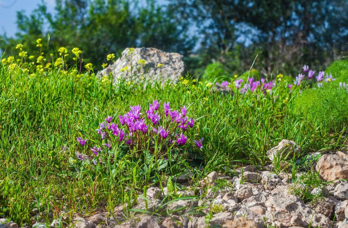 Mediterranear wildgrasses landscape with cyclamens