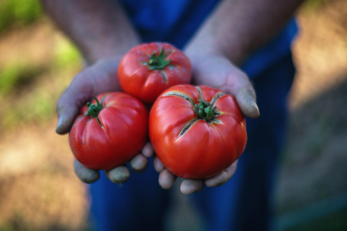 Freshly harvested tomatoes in farmers hands
