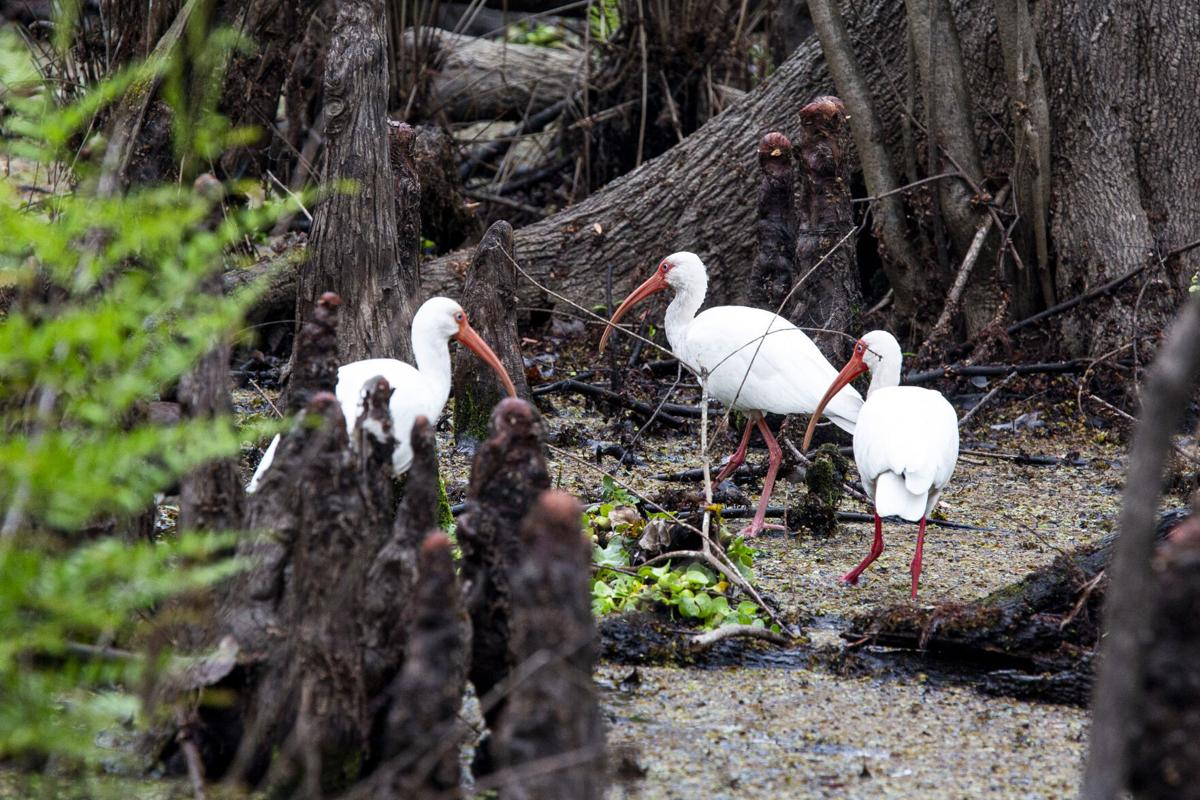 Ibises wade in Soldier Creek and look for food at Spring Hammock Preserve in Seminole County on Wednesday, Feb. 10, 2021.
