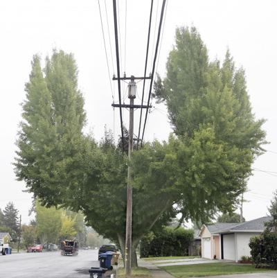Trees Trimmed in Odd Shape to Avoid Power Lines