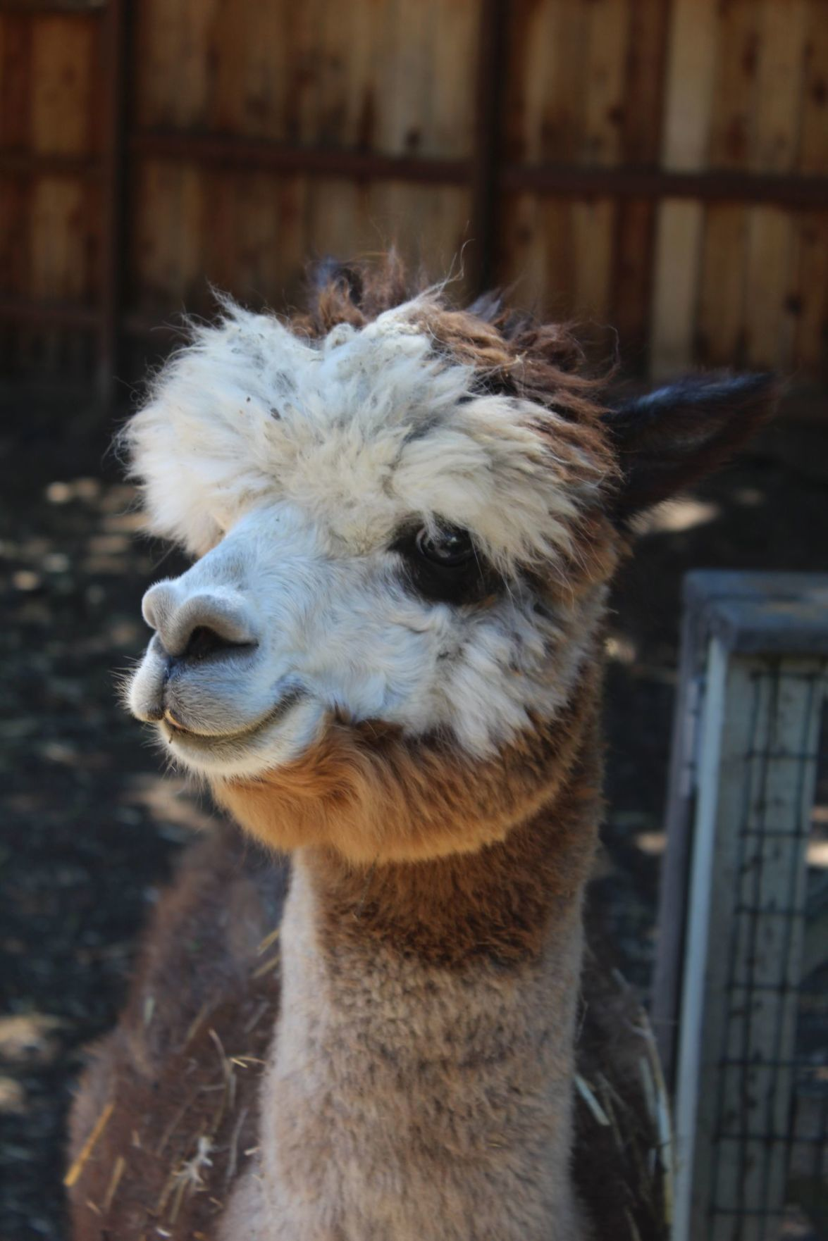 Napa the alpaca