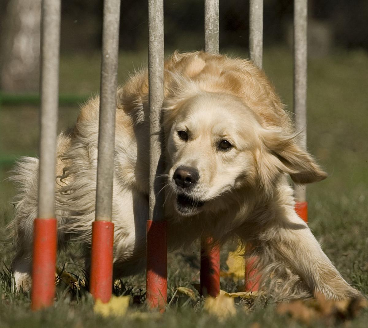 Retriever on the weave pole--magnificent!
