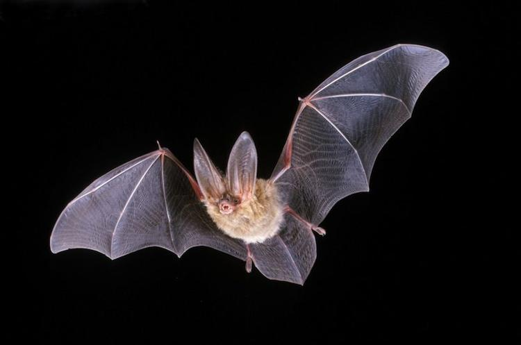 CA Bat