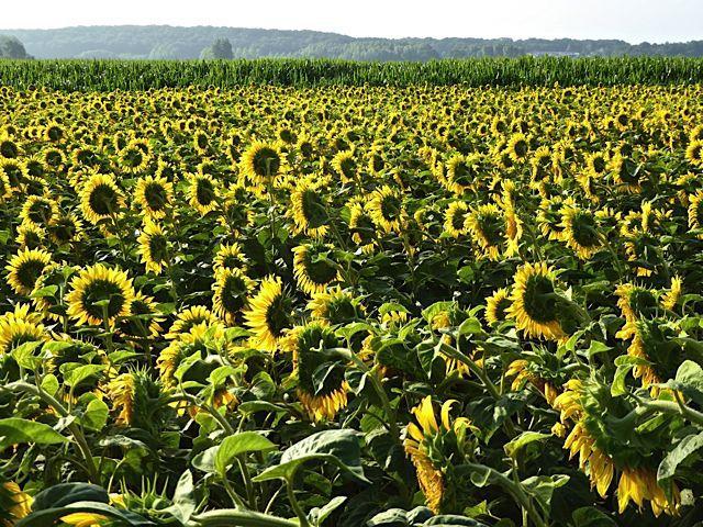Loire Valley sunflower field