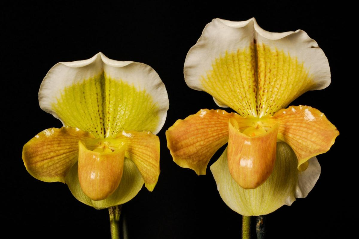 Exquisite Orchids Napa Valley Enthusiasts To Host Their Annual