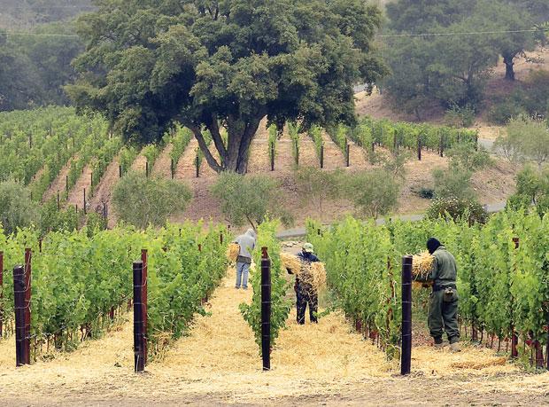 Cliff Lede Vineyards