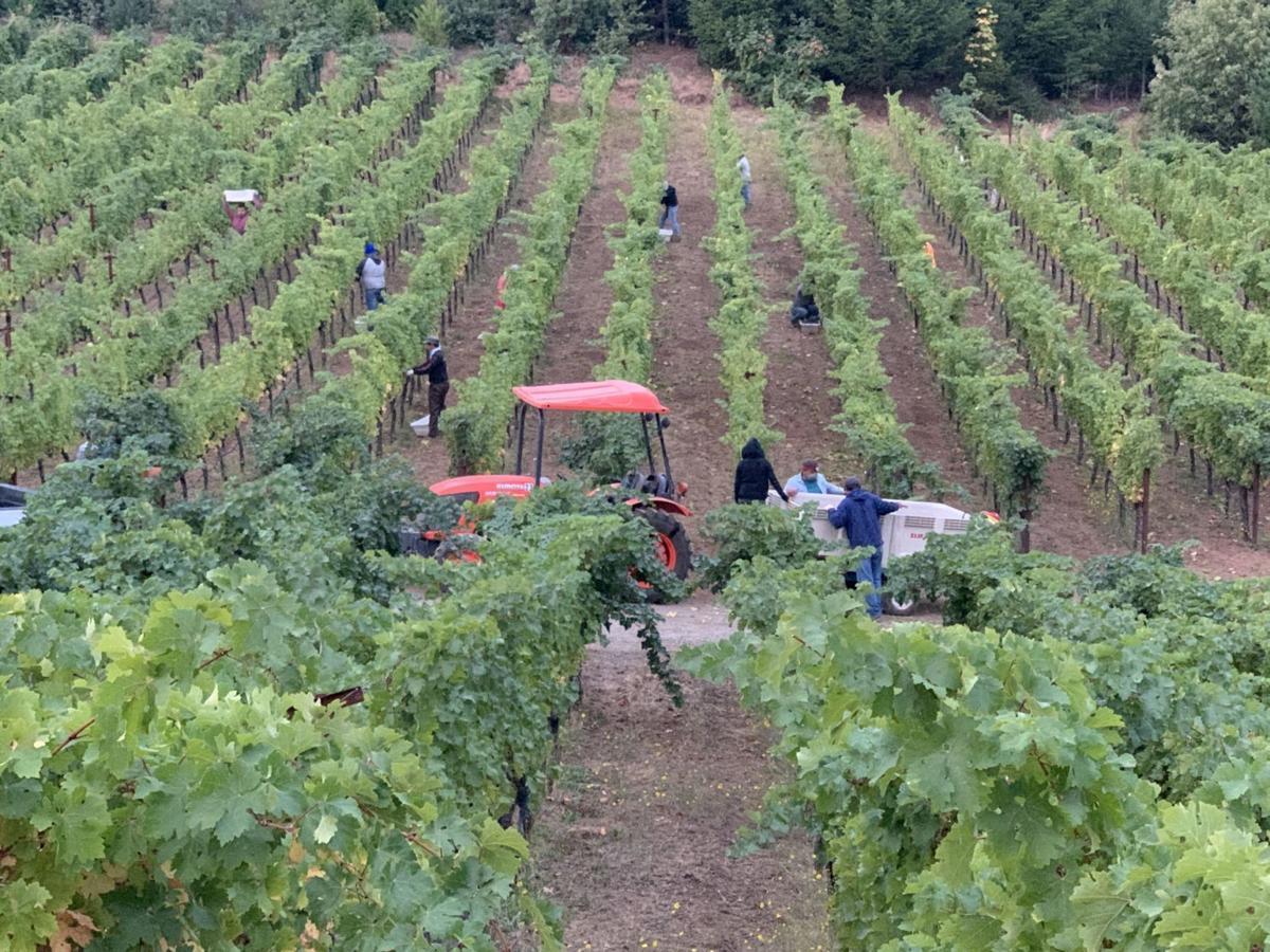 Harvest on Howell Mountain