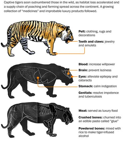 tiger-diagram-classic