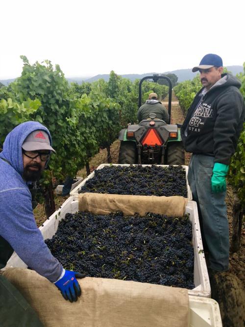 Pinot Noir harvest at Trefethen