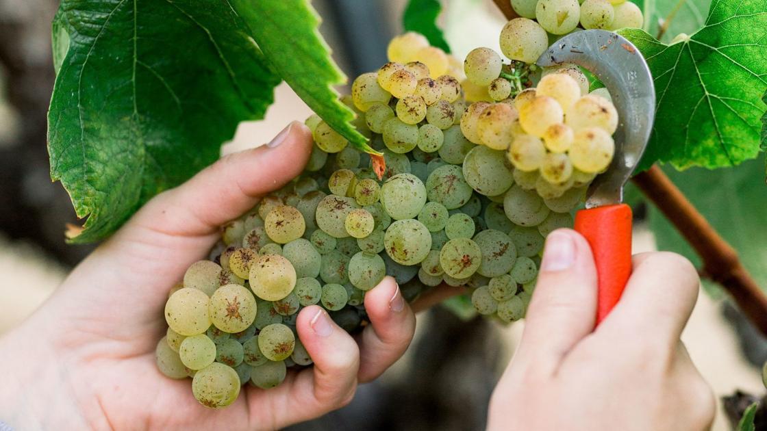 Chandon commences, celebrates 2021 Napa Valley harvest season