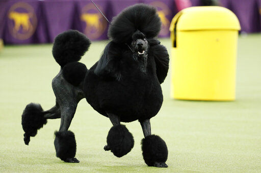 Poodle perfection: Siba wins best in show at Westminster