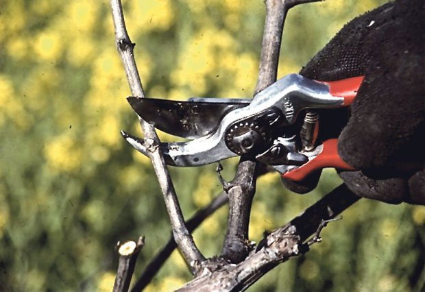 Pruning of the vines