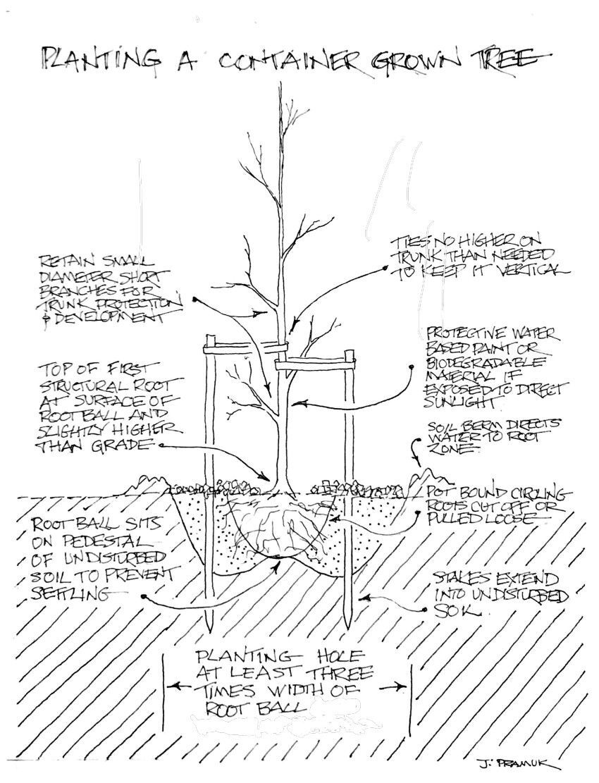 Planting a container-grown tree