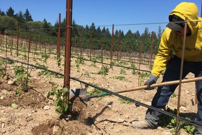 Grafting in a Howell Mounatin vineyard 2