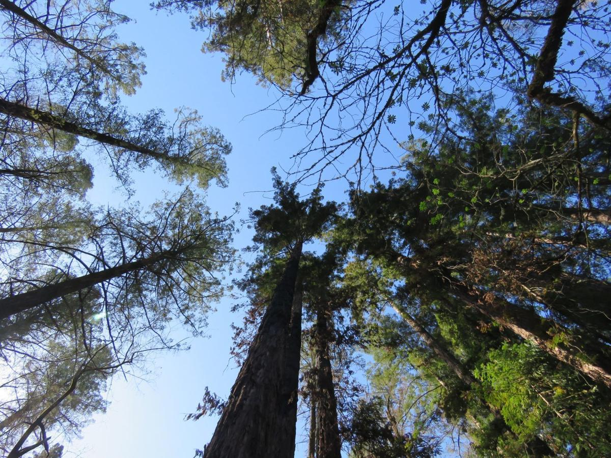 Douglas firs